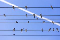 Swallows sul collegare Immagini Stock