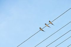 Swallows. Three swallows sitting on electricity wires Royalty Free Stock Photography