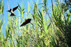 Swallows. Three swallows two in flight stock photography