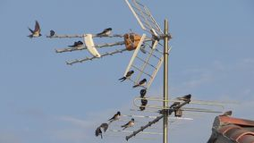Swallows on a tv antenna. Swallows on aerial, springtime, sunny day stock footage