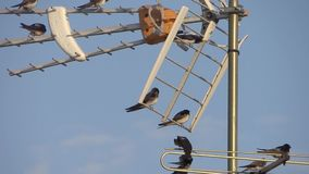 Swallows on a tv antenna. Swallows on aerial, springtime, sunny day stock video footage