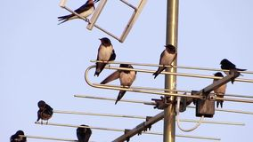 Swallows on a tv antenna. Swallows on aerial, springtime, sunny day stock video