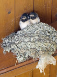Swallows. Two baby swallows sit on a nest stock images