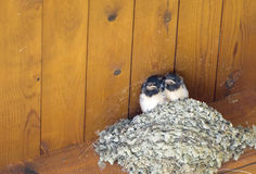 Swallows. Two baby swallows sit on a nest stock image