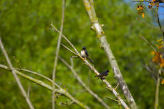 Bird. Two fellow swallows are sunbathing on a bold branch Royalty Free Stock Images