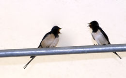Swallows. Two swallows perched on a metal bar stock photography