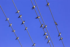 Swallows. On the wire and clear blue sky at summer stock photo
