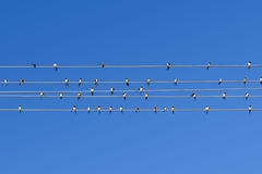 Swallows on the wire. Swallows gather and relax on the parallel wires like a music sheet at summer with clear blue sky stock photo