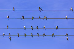 Swallows on the wire Royalty Free Stock Photography