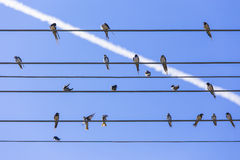 Swallows on the wire. Swallows relax on the parallel wires and clear blue sky with contrail at summer Stock Images