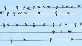 Swallows on the wire sit as musical notes