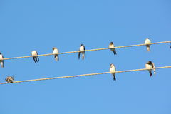 Swallows. Wire. Stock Image