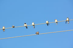 Swallows. Wire. Royalty Free Stock Image