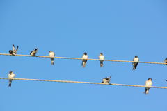 Swallows. Wire. Royalty Free Stock Photography