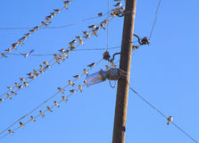 Swallows on a wire. Swallows swarm sitting on a wire with clear blue sky in the background. Multitude of birds Royalty Free Stock Photography