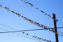 Swallows on a wire. Swallows swarm sitting on a wire with clear blue sky in the background. Multitude of birds Royalty Free Stock Photo