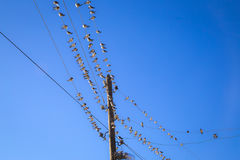 Swallows on a wire. Swallows swarm sitting on a wire with clear blue sky in the background. Multitude of birds Royalty Free Stock Image