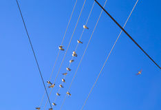 Swallows on a wire. Swallows swarm sitting on a wire with clear blue sky in the background. Multitude of birds Royalty Free Stock Images