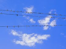 Swallows on wires Royalty Free Stock Image