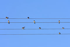Swallows on wires. Stock Photos