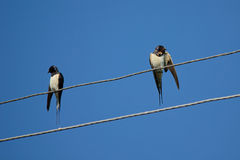 Swallows on wires. Stock Photo