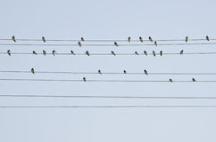 Swallows on the wires Royalty Free Stock Photo