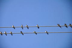 Swallows on the wires. Stock Photos