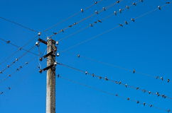 Swallows on wires. A flock of swallows sitting on wires Stock Images