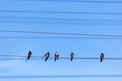 Swallows on wires Stock Photography