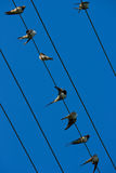 Swallows on wires. Royalty Free Stock Photos