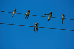 Swallows on wires. Royalty Free Stock Images