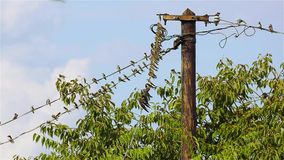 Swallows on the wires stock video