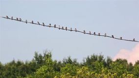 Swallows on the wires stock video footage