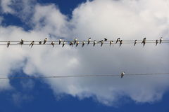 Swallows on the wires Royalty Free Stock Photos