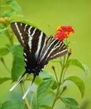 swallowtail斑马 免版税图库摄影