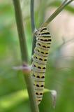 黑Swallowtail毛虫(Papilio polyxenes) 库存照片