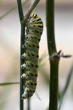 黑Swallowtail毛虫(Papilio polyxenes) 免版税库存照片