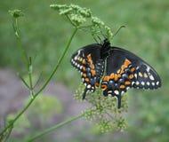 黑Swallowtail特写镜头(Papilio polyxenes) 库存图片