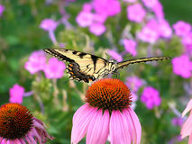 swallowtail老虎 免版税库存照片
