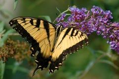 swallowtail老虎 免版税图库摄影