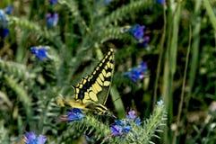 Swallowtail蝴蝶坐蓝色花 库存照片