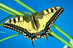 Swallowtail蝴蝶的画象,翼打开 库存图片