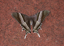 Swallowtail飞蛾 免版税图库摄影
