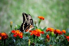 Swallowtail ΙΙΙ Στοκ Φωτογραφία