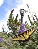 swallowtail παρακολουθημένη τίγρη &d Στοκ εικόνες με δικαίωμα ελεύθερης χρήσης
