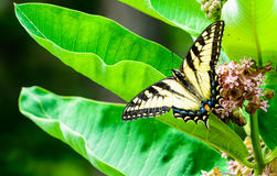 Swallowtail σε Milkweed Στοκ Εικόνες