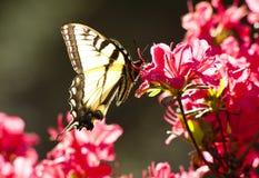 swallowtail бабочки азалий бледное Стоковые Изображения