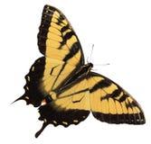 swallowtail бабочки Стоковые Фотографии RF
