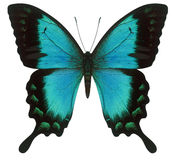 swallowtail бабочки Стоковое Фото