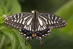 swallowtail бабочки Стоковое Изображение RF